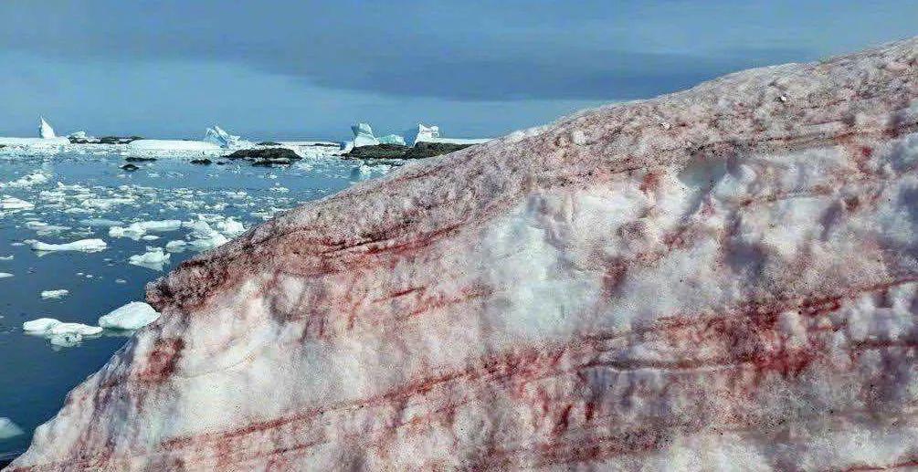 """警惕!南极又出现""""西瓜雪"""" 但这一点也不浪漫  第4张"""