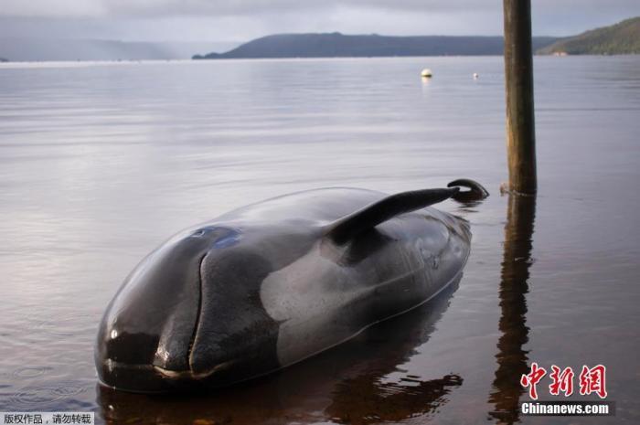 心痛:新西蘭再現鯨魚擱淺事件,近20頭已死亡(圖)