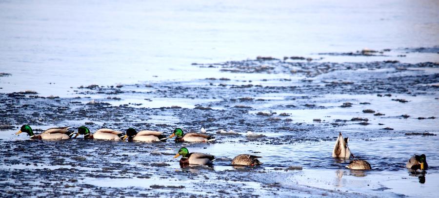 绿水青山丨新疆富蕴县:冰河开冻 鸭戏春水