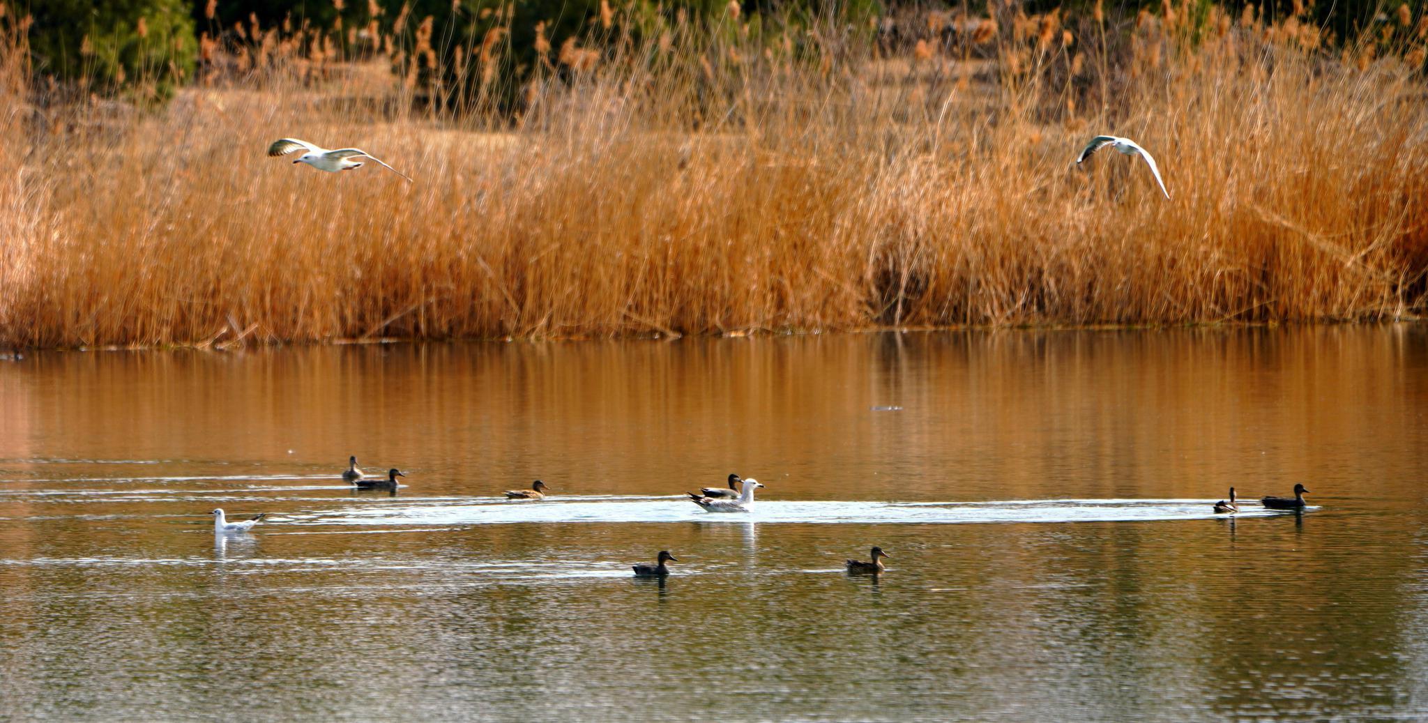 银鸥盘旋俯冲捕鱼,乐坏了房山小清河边摄影爱好者