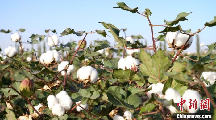 新疆棉花资料图。热孜万古 摄