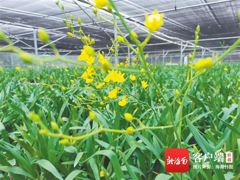 """白沙打安镇打安村发展兰花种植产业 通过""""以劳带扶""""努力实现增收致富"""