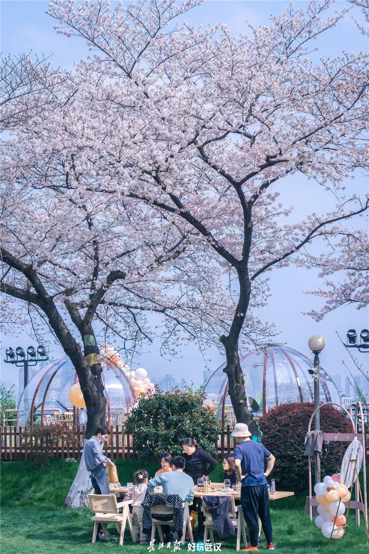 晴川假日酒店樱花树下品美食。长江日报城市摄影队 徐勤 摄