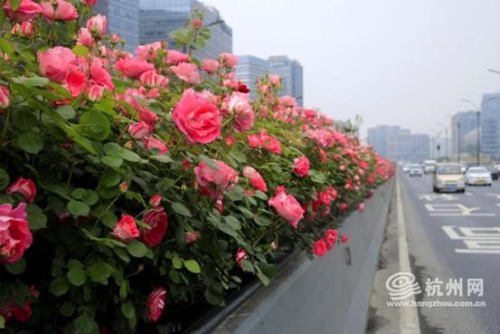 """贯穿杭城的""""空中花廊""""来了!最佳观赏时间是"""