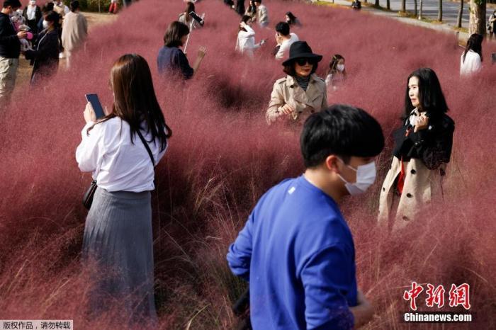资料图:韩国京畿道河南市,公园中的粉黛乱子草进入盛开期,吸引游客拍照游玩。