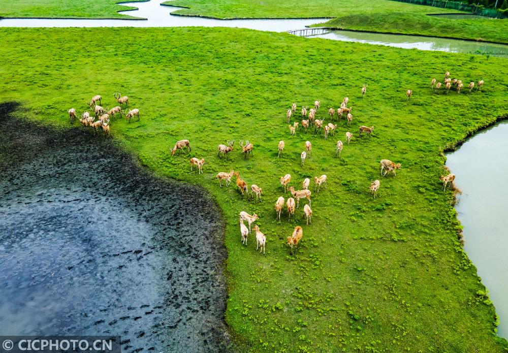 江苏泰州:溱湖湿地公园喜添10头麋鹿宝宝