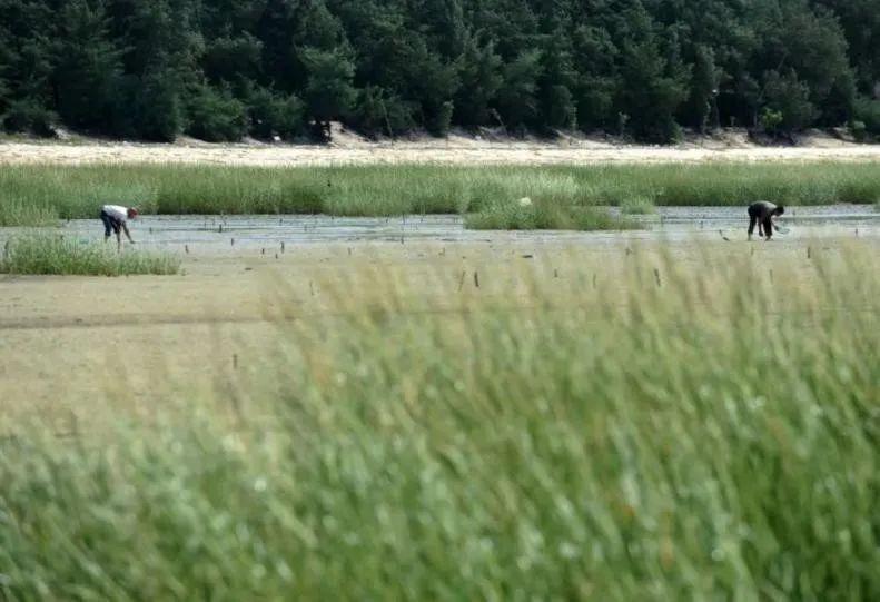 广西一滩涂遭外来植物互花米草入侵 图/新华网