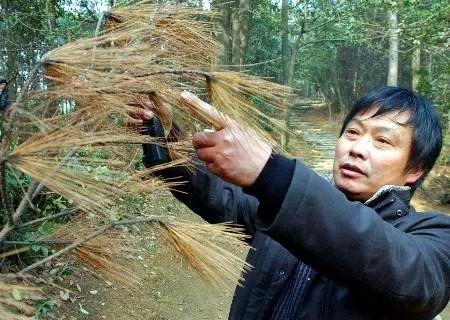 """松树""""艾滋病""""传入杭州西湖景区 图/新华网"""