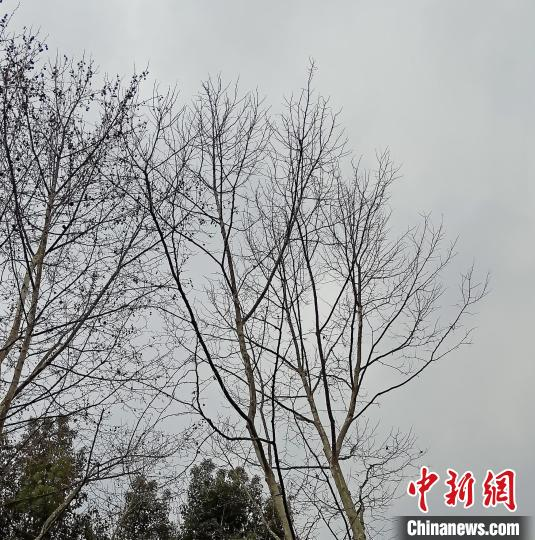 图为注药的梧桐树(右)和未注药的梧桐树(左)。杭州市园林文物局园林绿化处供图