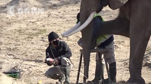 两头大象乖乖抬起腿接受服务