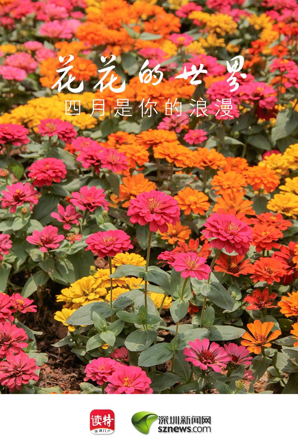 """朱顶红、中国无忧花、松果菊……四月的深圳,你能看到这些""""新朋友"""""""