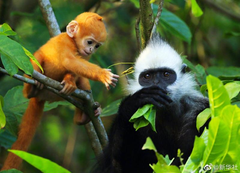 我国首次获得白头叶猴全基因组序列
