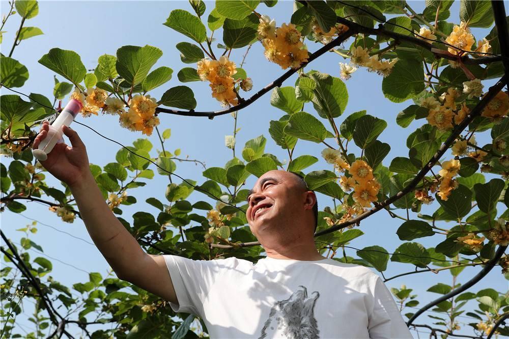 贵州黔西:猕猴桃基地授粉忙