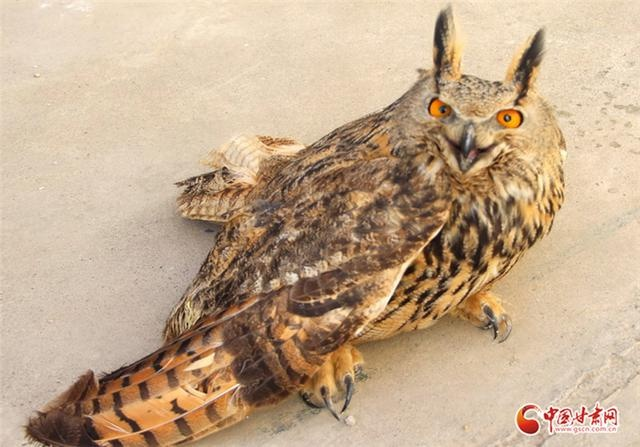 """兰州永登公安联合群众成功救助国家二级野生保护动物""""雕鸮"""""""