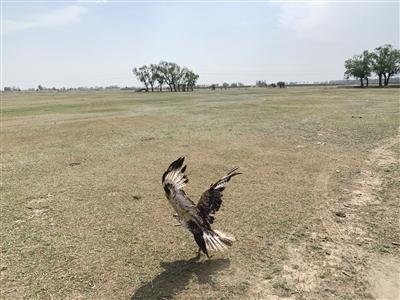 一只鵟鹰 一只雕鸮 两只被救助的野生鸟重返大自然