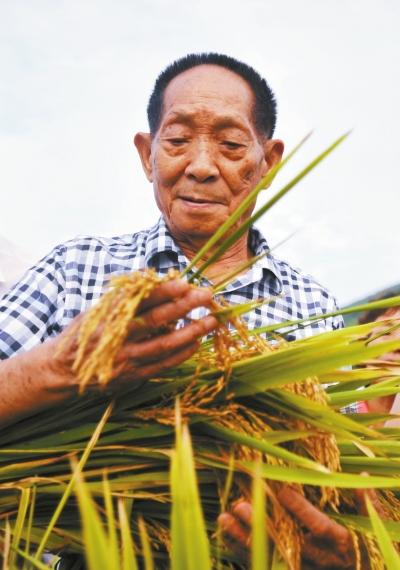 袁隆平的超级稻在河南扎根生长