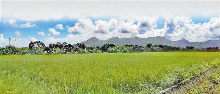 龙岗区积极推广袁隆平超级稻,海丰农户每年多赚3000多元
