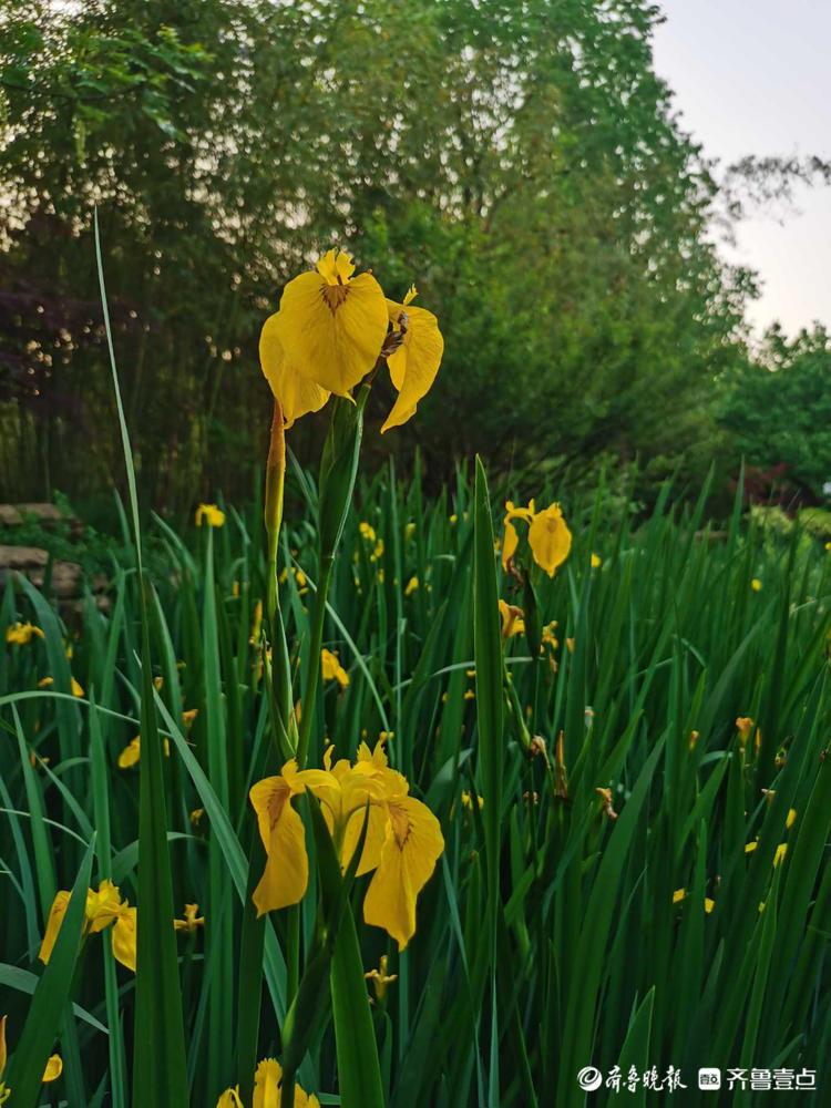 日照植物园鸢尾花盛开艳丽夺目