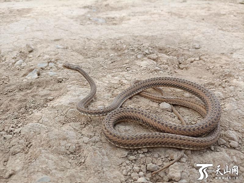 花条蛇属新种、新疆唯一特有蛇类——吐鲁番花条蛇发现始末