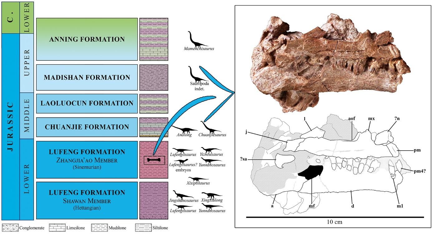 """云南中生代""""红层""""生物地层分布图和蜥脚类恐龙幼体头骨化石 (Claire Peyre de Fabrègues)"""