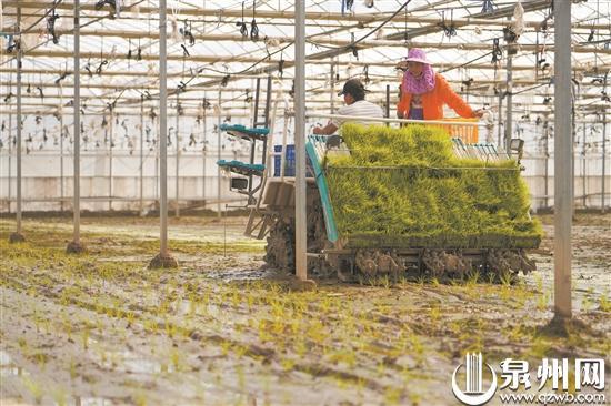 晋江:探索水旱轮作栽培模式 蔬菜大棚也能种水稻