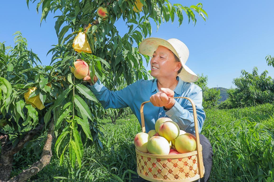 水蜜桃种植户张莹的京东618: 年轻人为传统农业注入新活力