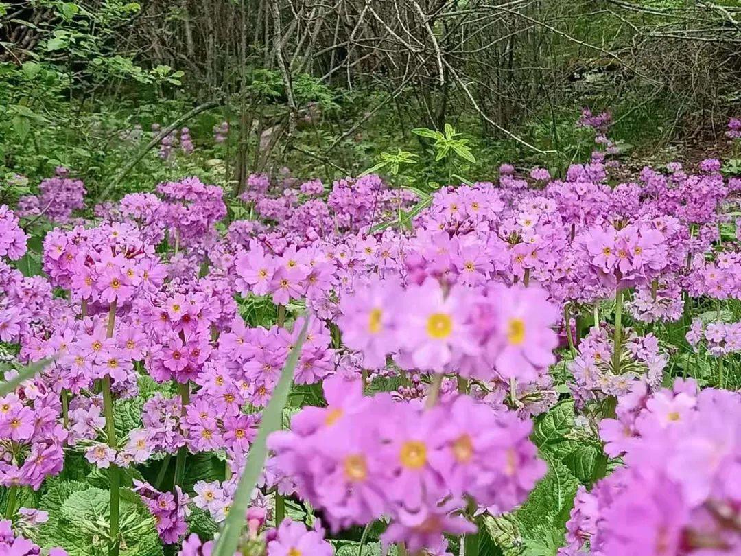 """这种植物曾""""绝迹"""",百年后在重庆大面积发现!"""