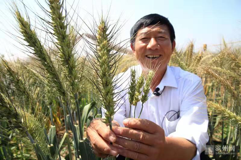 山东滨州国家农业科技园区高产小麦丰收在即  亩产潜力2000斤以上
