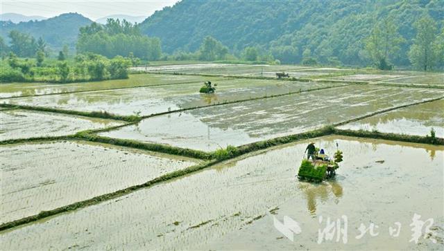 远安抢种优质水稻