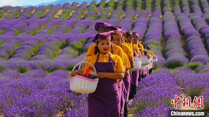新疆霍城5万亩薰衣草进入盛花期