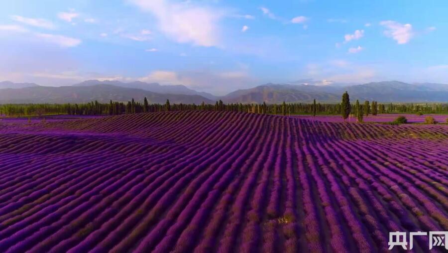 伊犁·国际旅游谷第十届薰衣草国际旅游节开幕
