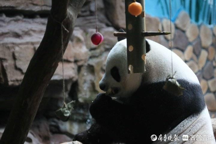 吃定制粽子,住空调房!熊猫二喜这个端午节过得真恣儿