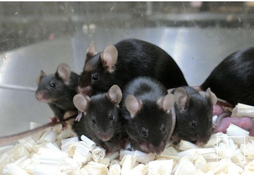 科学家使用太空冷冻精子成功繁殖健康小鼠 为人类星际移民铺路