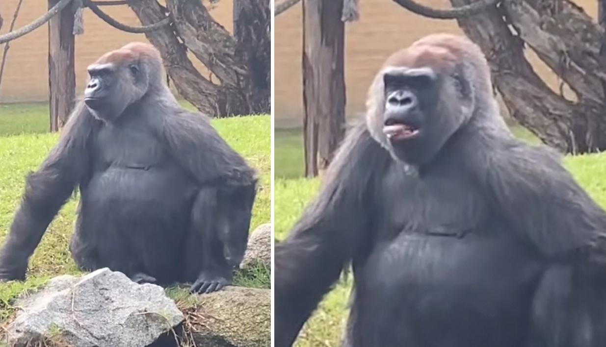 澳大利亚一女子向大猩猩打招呼遭其吐舌嘲讽
