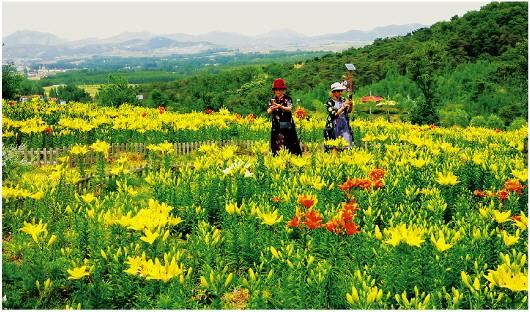 万亩百合次第开 2021中国·新泰百合节启动