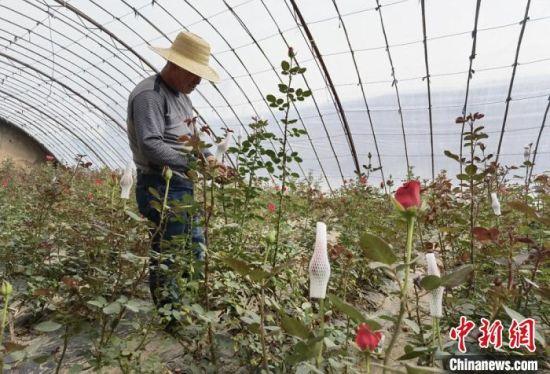 """兰州高新区村干部致力""""芬芳产业"""" 菜农转花农抱团发展"""