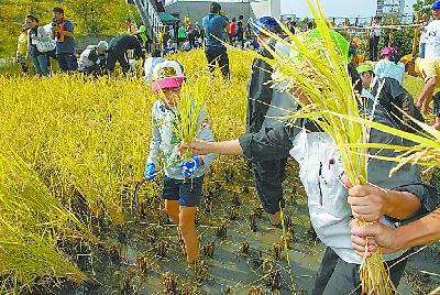 日本大城市,流行在楼顶种水稻