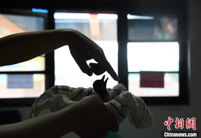 重庆汉海海洋公园2只洪堡企鹅幼崽存活