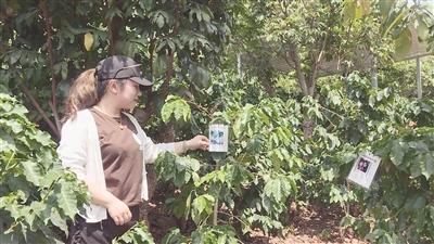 """新寨村2000株咖啡树被上海家庭""""认养"""""""