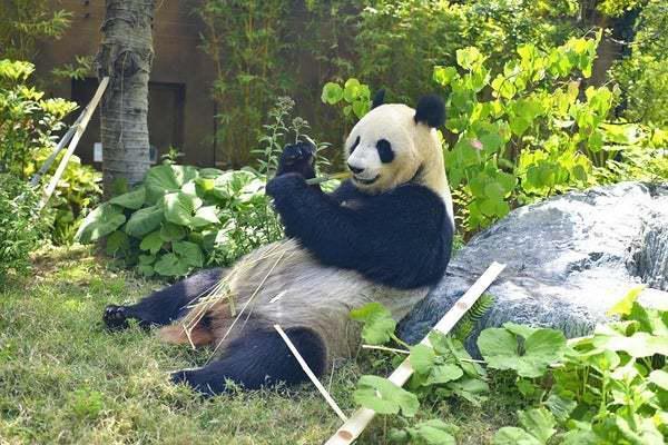 """日媒:上野动物园雌性大熊猫""""真真""""产下两只宝宝"""