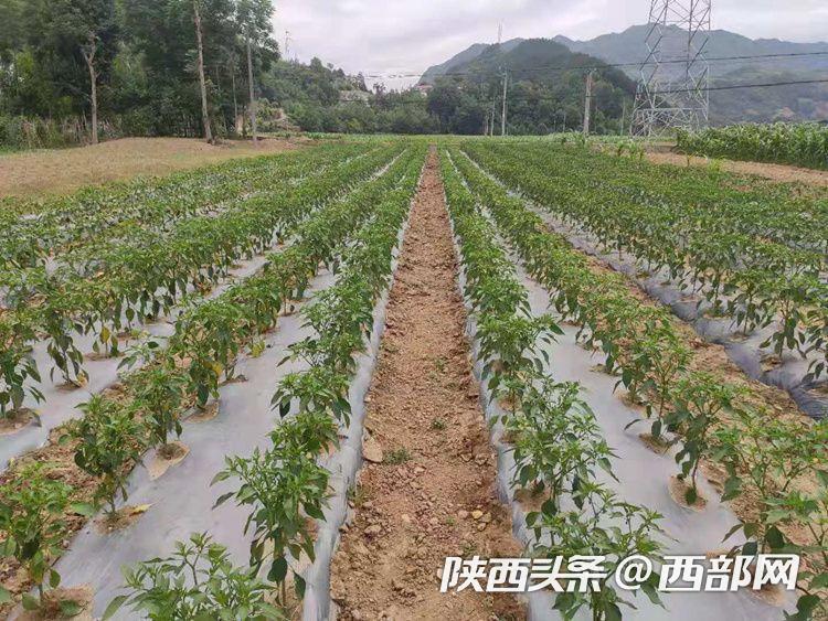 陕西勉县:火红的辣椒为老百姓带来火红的日子