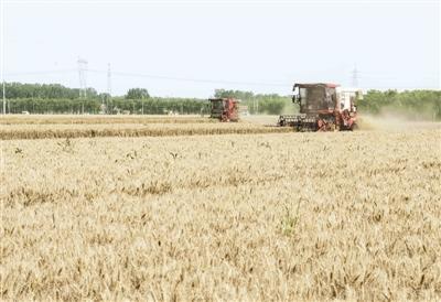 蓟州小麦喜获丰收