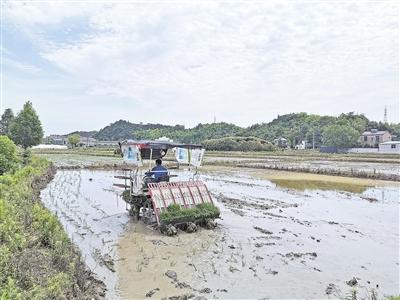 安吉县4.7万亩小麦九成完成收割 晚稻栽植预计13.3万亩