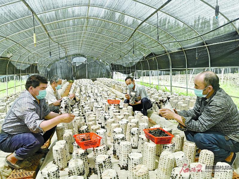 【政策追踪】温宿县:村民采收黑木耳