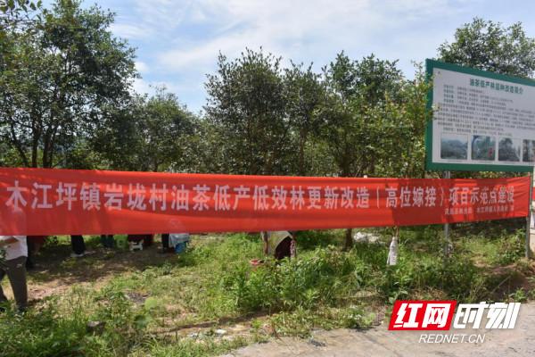 凤凰县开展油茶低产低效林更新改造项目示范点建设