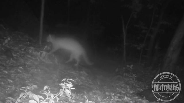 野生豹猫惊现庐山保护区,红外相机抓拍→