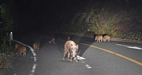 日本福岛出现放射性杂交野猪 福岛动物变异野猪图片