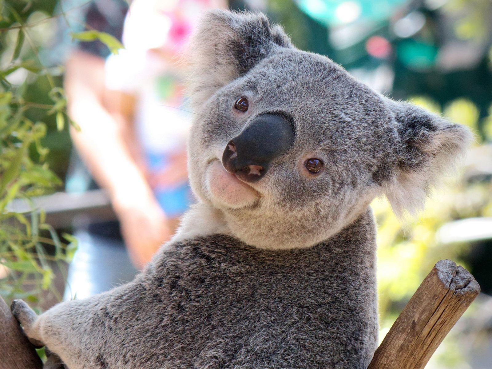 """澳大利亚国宝动物_""""澳洲国宝""""考拉要灭绝了?_手机新浪网"""