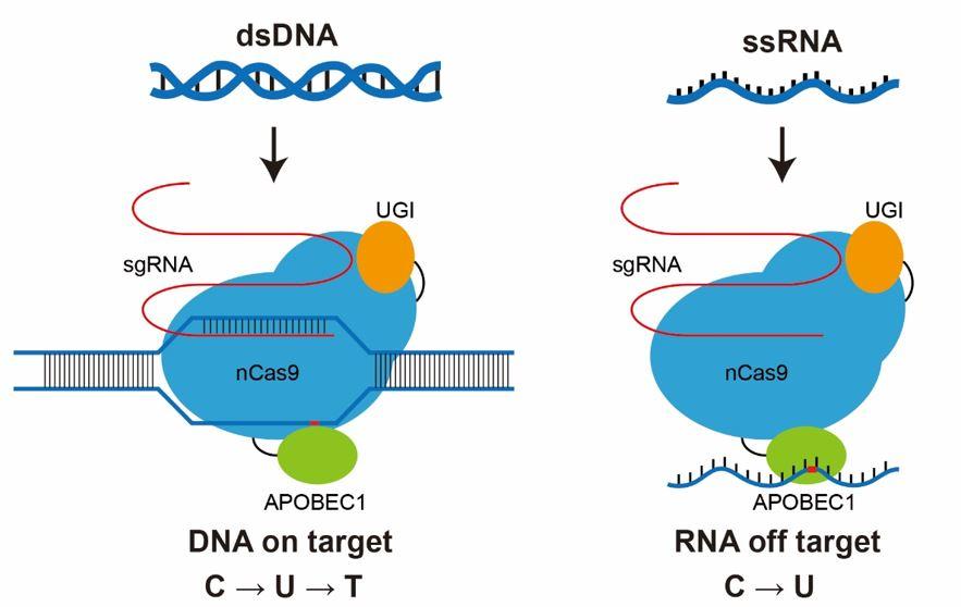 科学家开发更高精度的单碱基基因编辑工具