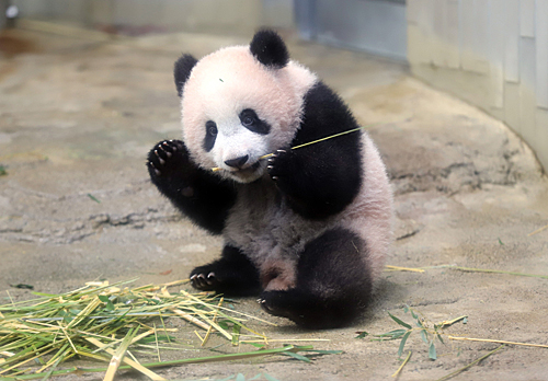 2017年在日本东京上野动物园拍摄的大熊猫幼崽香香(新华社)